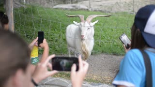 Visitors take photo via Mobile Phone of Goat at the Zoo