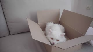 Open Box Lying on Sofa, in Box is Cat, Looking Around and Yawns.