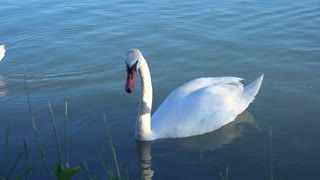 Beautiful white swan with red beak swimming in lake. Wild animal eats grass and drinks clean water. Concept of clean rivers and save places for animals