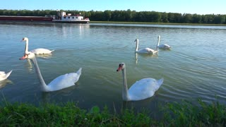 Flock of swans swimming and resting near Danube river Vienna Austria bank. Birds drinks water, ship sails in distance. Concept of animal at wild world ships for transportation