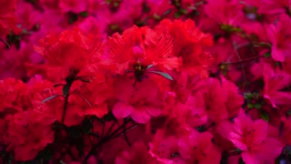 Pink and red flowers blossoming in garden