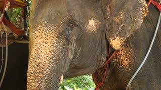 Slow motion blogger shooting elephants in park, person making video about wild nature. Concept of reserve, travelling and tourism. Animal nodding opening mouth flapping ears.
