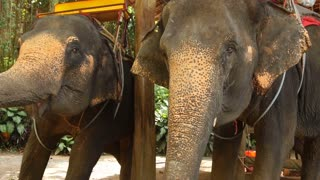 Slow motion family looking at elephants on farm, people feeding animals with bananas. Concept of entertainment, travelling and tourism. Wooden pavilion among exotic plants and palm trees.