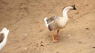 Slow motion farmer looking at two geese and duck, person want to buy fowl for own farm. Concept of poultry farming, travelling and learning fauna of foreign country. White and brown birds walking in