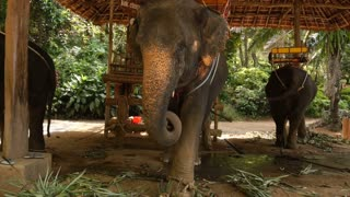 Slow motion tourist standing near three elephants in park, person going to ride. Concept of reserve, travelling and entertainment. Vacationer watching at animals eating greenery in shadow.