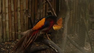 Slow motion traveler looking at pheasant in zoo, visitor learning fauna of foreign country. Concept of entertainment, travelling and tourism. Bright bird sitting on branch in birdcage cleaning