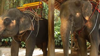 Slow motion two riding elephants in wooden pavilion, animals relaxing in shadow. Concept of entertainment, travelling and tourism. Beautiful view of exotic plants and palm trees under scoring sun.