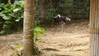 Slow motion visitor of zoo stay near ostrich, white duck walking beside. Concept of entertainment, travelling and learning fauna of foreign country. Grey bird cleaning feathers standing among exotic