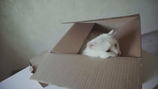 White Cat Crawled Into the Box and Sitting Inside It.