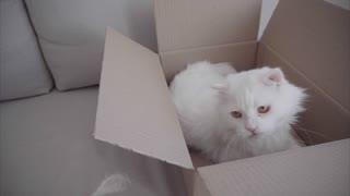 White Cat Lying in Box and Plays Toy Which Hostess Throws. Box With Cat Lying on White Sofa Inside.