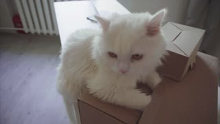 White Cat Sitting on Table and Wants to Get Into Big Box.