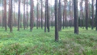 Flight Between Trees In Forest 10