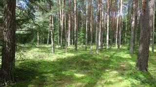 Flight Between Trees In Forest 1