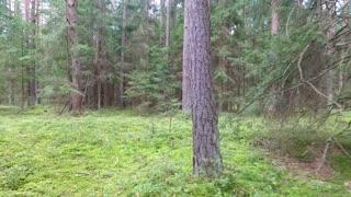 Flight Between Trees In Forest 4