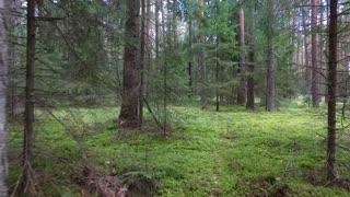 Flight Between Trees In Forest 6