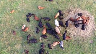 Flight Over Cows In Meadow 5
