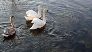 Swimming Swans at Lake 4