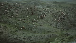 Flock of sheared sheep moving in mountains at sunset