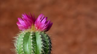 Green cactus with sharp needles and pink purple flower spins on brown background. The concept for the final screen saver video