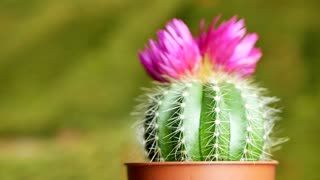 Green cactus with sharp needles and pink purple flower spins on yellow green background. The concept for the final screen saver video
