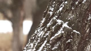 Oak bark close-up. Daylight, winter, forest. Background.