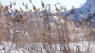 Reed in snow, winter background