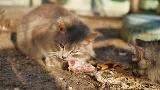 A Street Cat Eating Food.