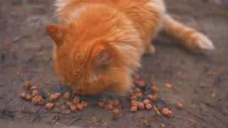 A Street Red Cat Eating Food.