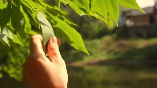 A woman's hand touches the leaves of a tree