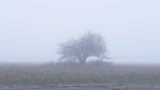 Autumnal tree in fog