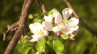 Beautiful apple tree blooming, gentle little white flowers on twig over blur green background, beauty of spring season