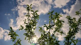 Beautiful green tree under blue sky, timelapse.