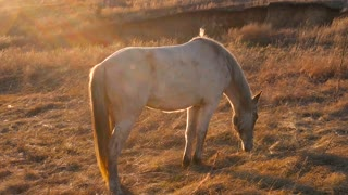 Beautiful horse eating grass on sunny summer evening on meadow. Horse grazing outdoors over sunset. Slow motion.