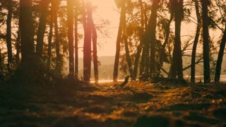 Beautiful nature, pristine forest with trees trunks, moss and shining shimmering sunset. Sunset in forest. Small midges fly around the stump.