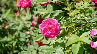 Beautiful pink rose bush with shiny green leaves. Close up.