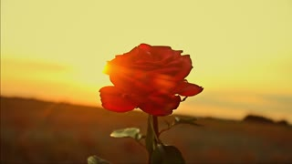 Beautiful red rose on a sunset background, golden rays of the sun