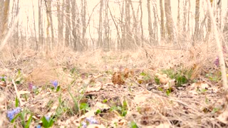 Beautiful young girl collects blue snowdrops in the forest