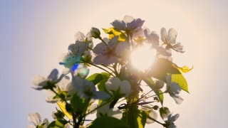 Blooming tree with flowers in spring. Beautiful soft focus footage of spring flowers.