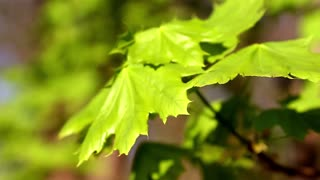 Branch of fresh green maple foliage close-up.