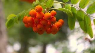 Branches of elder red with berries against foliage in the summer