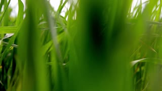 Bright vibrant green grass close-up. Abstract natural background of green grass and beauty blurred bokeh. Selective focus close up for abstract blurred in shot.