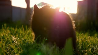 Cat sitting in the garden on the grass at sunset. Cat playing outside at sunset time.