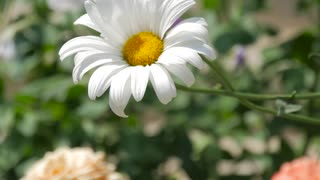 Chamomile flowers close up. Nature of summer, flower fields, wild flower meadow, video for the background, videofootage nature, beautiful daisies.