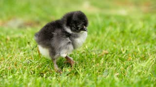 Close up newborn black and white chicken on the grass field on green background. Easter concept.