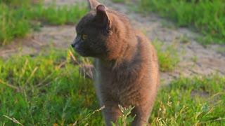 Close-up portrait cute American short hair cat. Cute cat face.