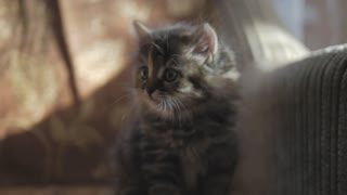 Cute persian kitten at home. Curious gray kitten. Small pet.