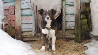Dog on a chain, the dog next to the booth, the dog in the yard. Dog on a chain in the village guarding the homestead.