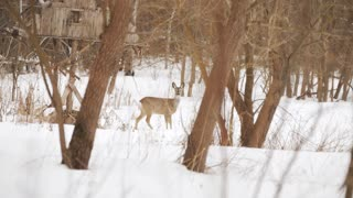 European roe deer (Capreolus capreolus) in the winter forest
