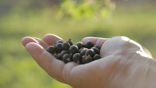 Farmer hand full of organic black currant berries. Black currant harvest.