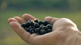 Farmer hand full of organic black currant berries. Black currant harvest.